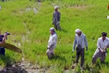 ريبورتاج (١) | زراعة الرز العنبر في منطقة المشخاب في النجف الأشرف – تصوير جوي